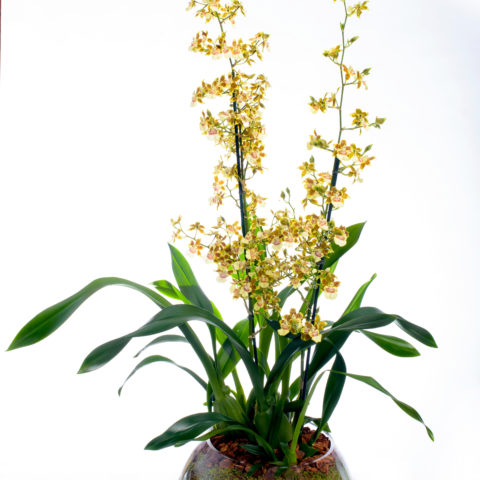 Potted orchid, same day flower delivery NYC, Rachel Cho Floral Design