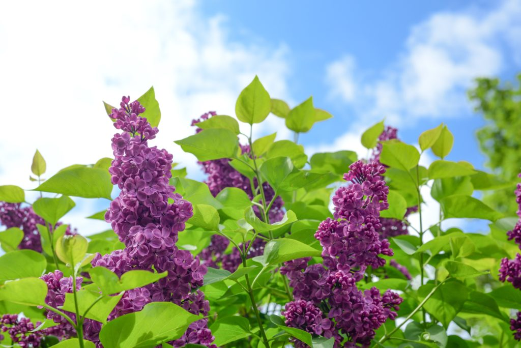 Plants that Repel Mosquitoes and Other Insects