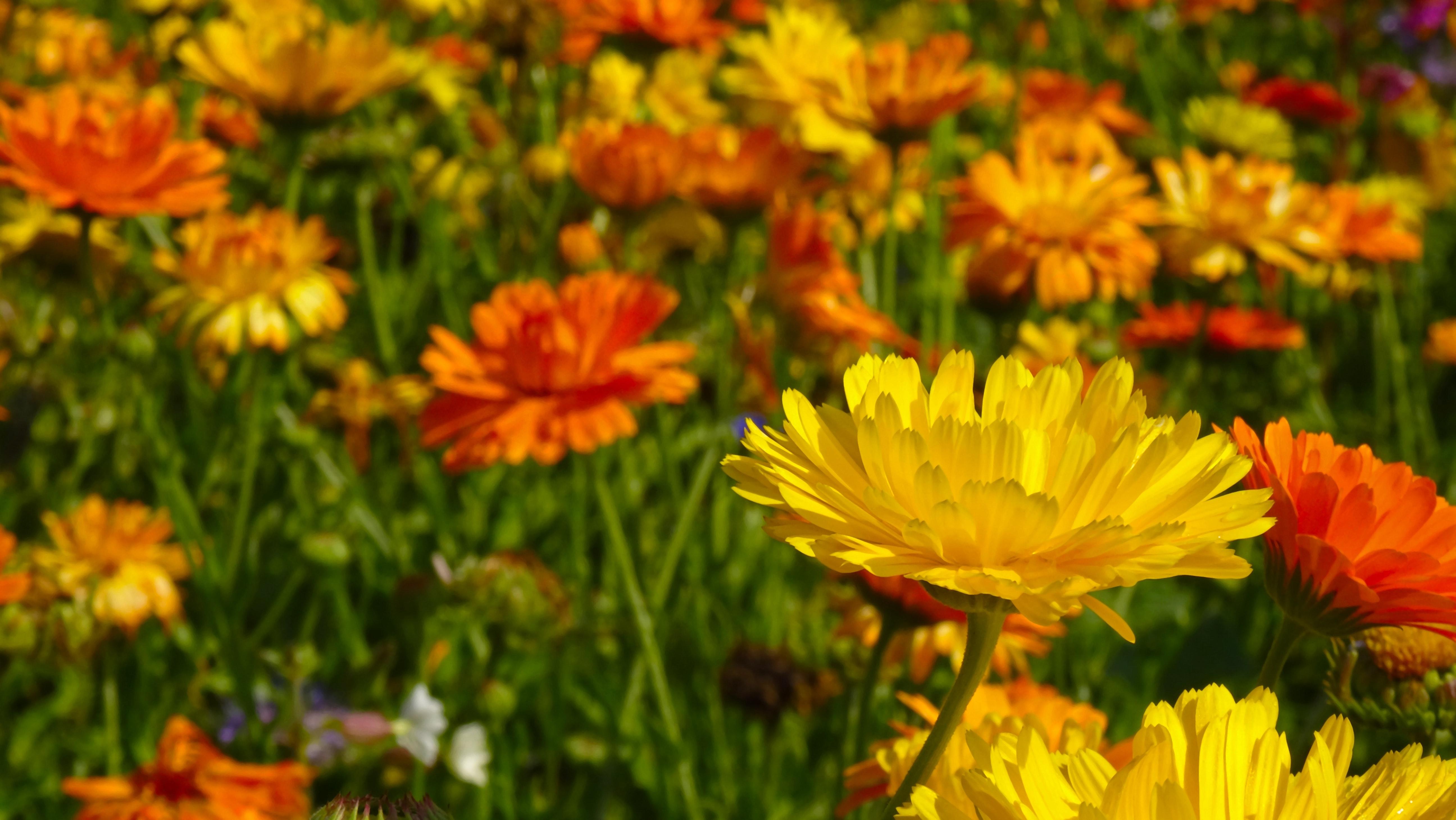field-of-flowers-flower-meadow-flowers-45173