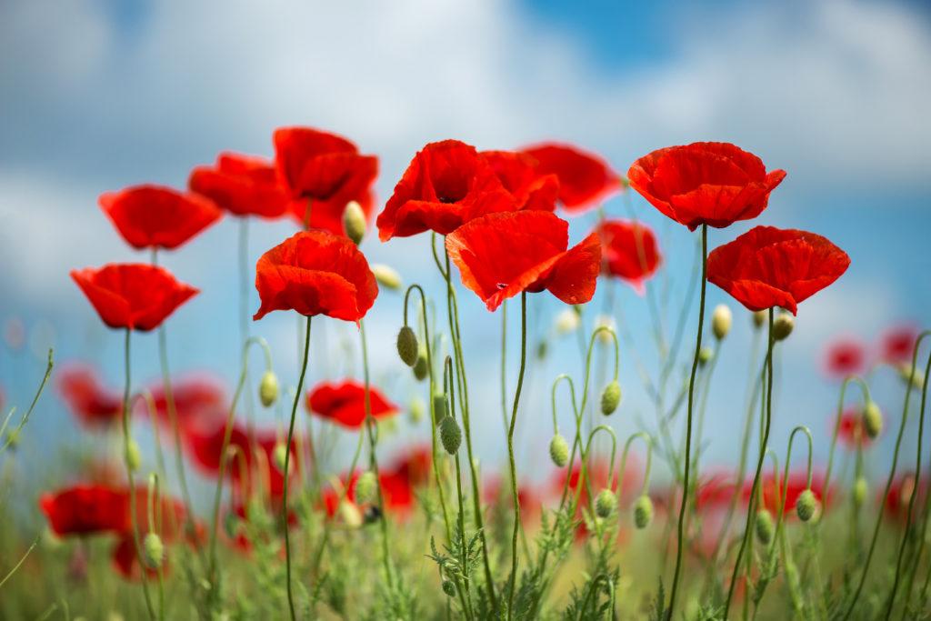 Rachel Cho Flowers | Floral Designer | poppies